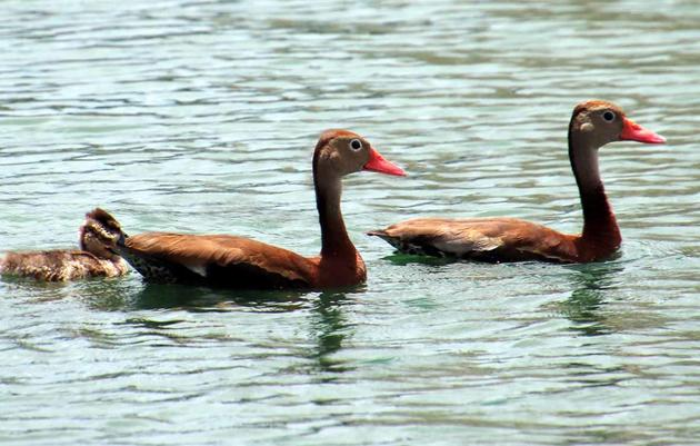 Whistling Ducks Sing Community Tune at Hospital