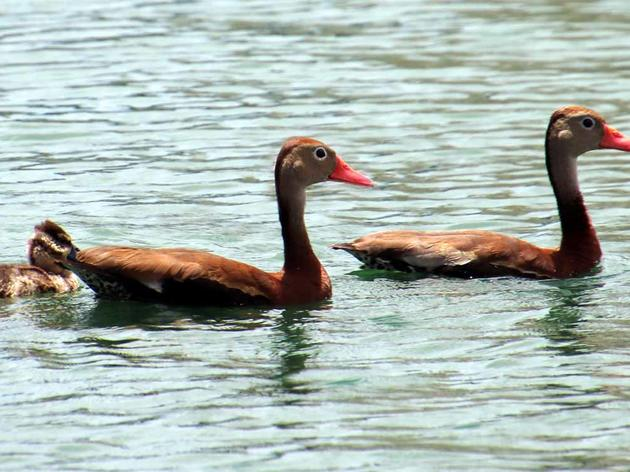 Whistling Ducks Sing Community Tune at Hospital